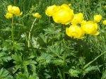 Globe-flower-520x388.jpg